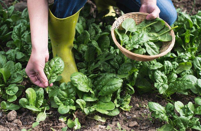 Urzica, stevia si spanacul, hrana si remedii naturale de primavara, la indemana ta